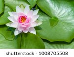 Small photo of Pink lotus in Thailand