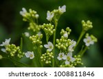 flowers of anthriscus... | Shutterstock . vector #1008811846