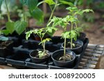 young tomato plants in pots... | Shutterstock . vector #1008920005