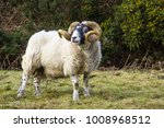 A large ram with twisted horns...