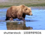 grizzly bear crossing a stream | Shutterstock . vector #1008989836