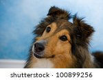 image of a beautiful sheltie on ... | Shutterstock . vector #100899256