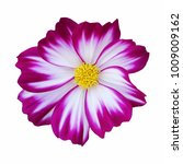 violet and white cosmos flower... | Shutterstock . vector #1009009162