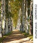 Avenue Of Birch Trees In Autum...