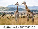 Two Giraffes In Pilanesberg...