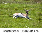 African Gazelle Resting In The...