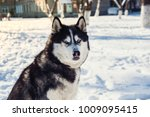portrait of angry siberian... | Shutterstock . vector #1009095415