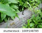 lizard on the trunk of a tree | Shutterstock . vector #1009148785