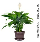 Houseplant   Spathiphyllum...