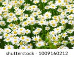 white camomiles on green field | Shutterstock . vector #1009160212