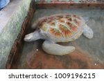 the sea turtle swims in the... | Shutterstock . vector #1009196215