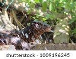 the water monitor or varanus... | Shutterstock . vector #1009196245