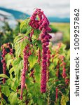 Small photo of Red Amaranthus flowers growing in autumn garden