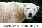 polar bear close up   Shutterstock . vector #1009281916