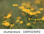 a lot of yellow flowers on a... | Shutterstock . vector #1009325092