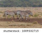 zebra in nature | Shutterstock . vector #1009332715