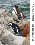 Small photo of African penguins (Spheniscus demersus) on a rock at Betty's Bay, near Cape Town, South Africa