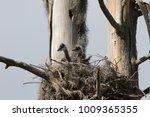 Pair Of Great Blue Heron Chicks ...