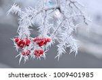 Frozen Red Berries On Rowen...