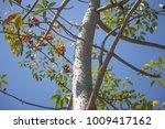 leaf of bombax ceiba tree with... | Shutterstock . vector #1009417162