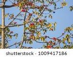 leaf of bombax ceiba tree with... | Shutterstock . vector #1009417186