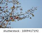 leaf of bombax ceiba tree with... | Shutterstock . vector #1009417192