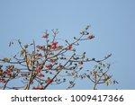 leaf of bombax ceiba tree with... | Shutterstock . vector #1009417366