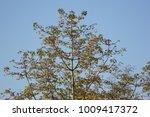 leaf of bombax ceiba tree with... | Shutterstock . vector #1009417372