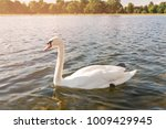 White Swan On Lake Water In...
