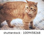 Stock photo ginger cat on the bed 1009458268