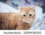 Stock photo ginger cat on the bed 1009458292