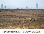 Small photo of Zebra stand in front of city and looking at the Nairobi city from Nairobi national park in Kenya. Contrast situation. Contrast situation.