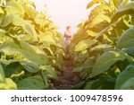 Small photo of Tobacco leaf crops growing in tobacco plantation field Nakhonphanom Thailand.