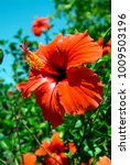 close up of an hibiscus flower... | Shutterstock . vector #1009503196