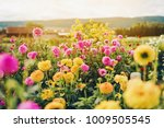 Beautiful Field With Pink And...