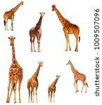 giraffes isolated. reticulated... | Shutterstock . vector #1009507096