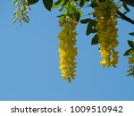 Yellow Wisteria Flower Japan...