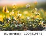 nature. beautiful meadow wild... | Shutterstock . vector #1009519546