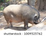 Small photo of boar Prowl look for food