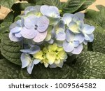 the blue flower  forget me not  | Shutterstock . vector #1009564582
