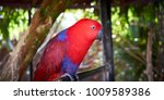 Red And Blue Electus Parrot ...