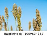close up sorghum or millet an...   Shutterstock . vector #1009634356