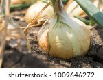 the onion is grown on the soil... | Shutterstock . vector #1009646272