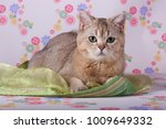 a purebred cat is lying on the... | Shutterstock . vector #1009649332