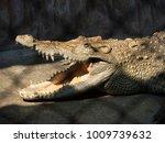 crocodile saltwater. hi res | Shutterstock . vector #1009739632