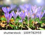 Saffron  Crocus Spring Flower