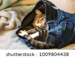 Stock photo an adorable kitten sleeping in someones denim blue jeans on a bed 1009804438
