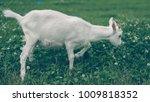 white goat in pasture | Shutterstock . vector #1009818352