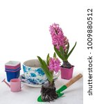 planting pink hyacinths with... | Shutterstock . vector #1009880512