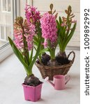 pink hyacinths bloom on the... | Shutterstock . vector #1009892992